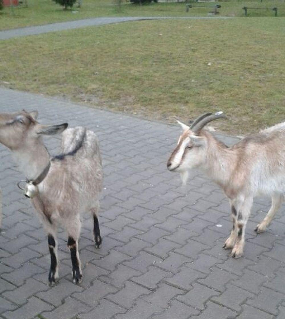 Zatúlané kozy vošli na Hájiku do Tesca, foto 1