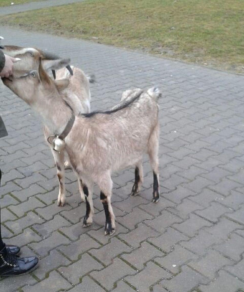 Zatúlané kozy vošli na Hájiku do Tesca, foto 2