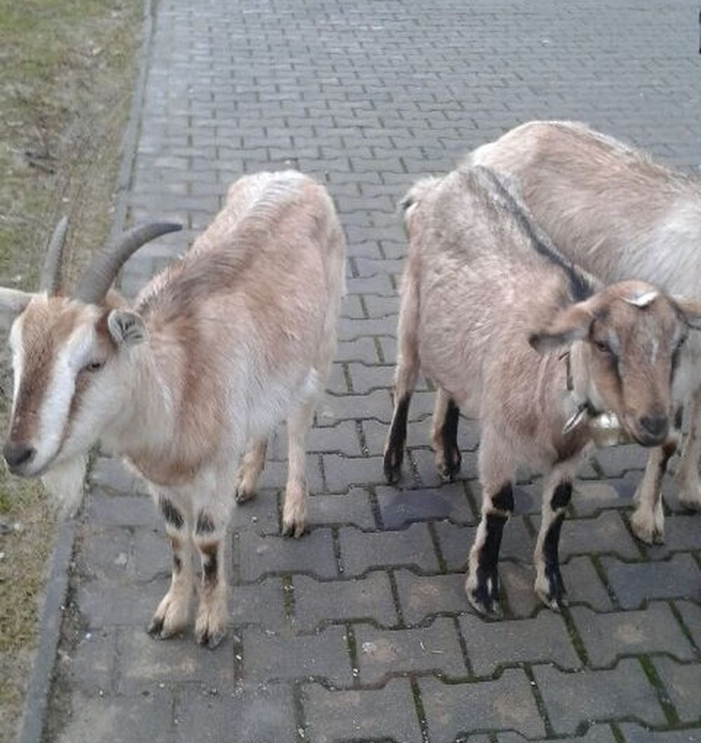 Zatúlané kozy vošli na Hájiku do Tesca, foto 3
