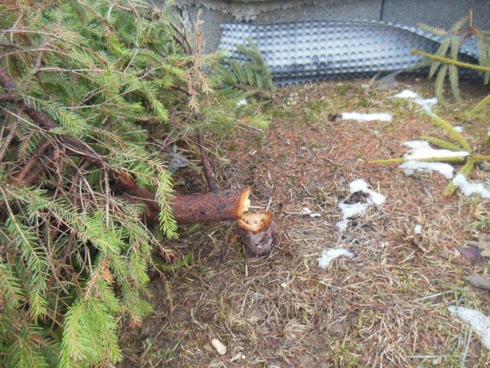 Zrezané stromčeky na ulici Pod Hliniskom, sídlisko Solinky, foto 3