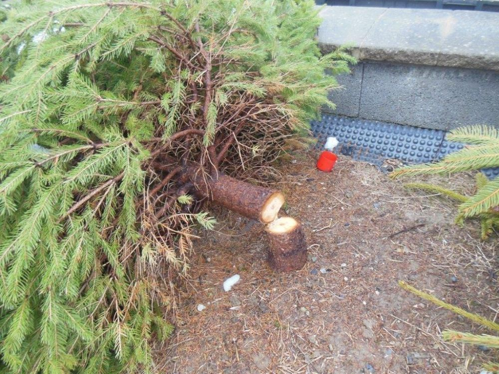 Zrezané stromčeky na ulici Pod Hliniskom, sídlisko Solinky, foto 4