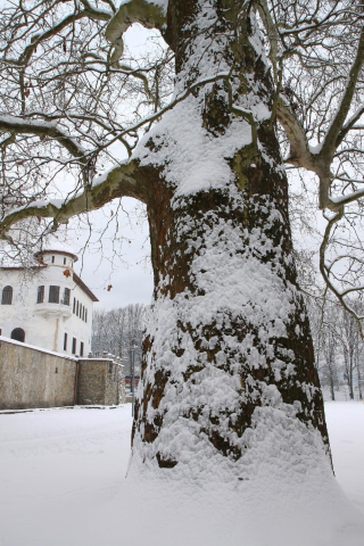 Platan v Budatínskom parku, foto 3
