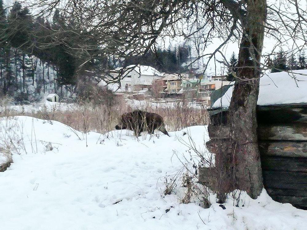 Diviaky Bánovská hora 13.1.2017