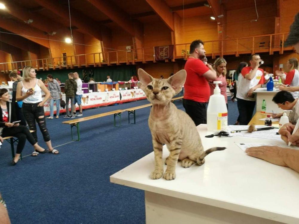 Výstava mačiek 2018 v Žiline, foto 7