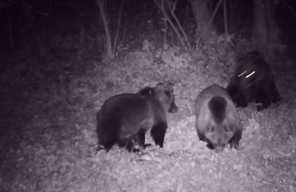 FOTO + VIDEO: V obci Stráňavy sa pohybovali tri medvede, videli ich aj v Trnovom a Višňovom, foto 1