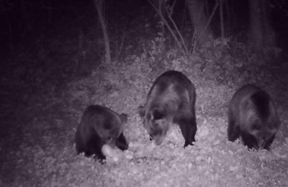 FOTO + VIDEO: V obci Stráňavy sa pohybovali tri medvede, videli ich aj v Trnovom a Višňovom, foto 2