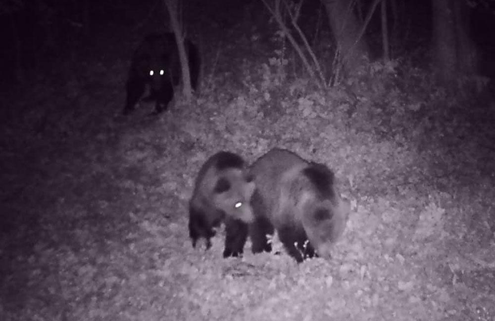 FOTO + VIDEO: V obci Stráňavy sa pohybovali tri medvede, videli ich aj v Trnovom a Višňovom, foto 3