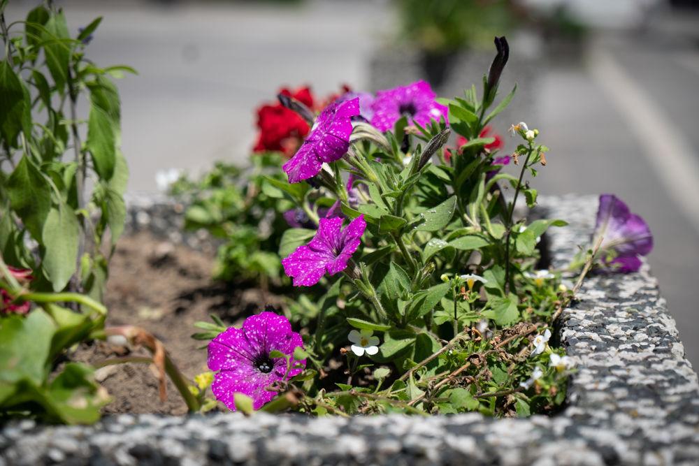 FOTO: Betónové kvetináče v centre Žiliny skrášlili vysadením trvaliek a trávy, foto 8