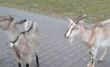 Zatúlané kozy vošli na Hájiku do Tesca