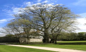 Platan v Budatínskom parku