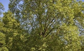 Platan javorolistý Budatínsky park