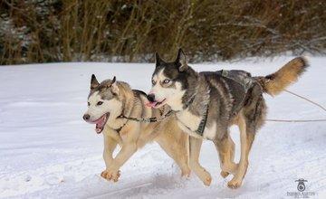 Majstrovstvá sveta psích záprahov - WSA World Cup 2017 Zuberec