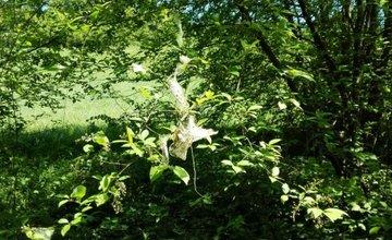 FOTO: Časť stromov v Lesoparku Chrasť v Žiline obalili húsenice