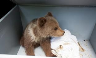 Úspešná adopcia malého medveďa náhradnou matkou