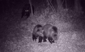 FOTO + VIDEO: V obci Stráňavy sa pohybovali tri medvede, videli ich aj v Trnovom a Višňovom
