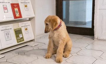 FOTO: Nové šteniatko afgánskeho chrta Dellis a jej rodičia