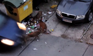 VIDEO: Vodič na sídlisku Hájik zrazil mláďa diviaka, to sa následne zranené plazilo cez sídlisko